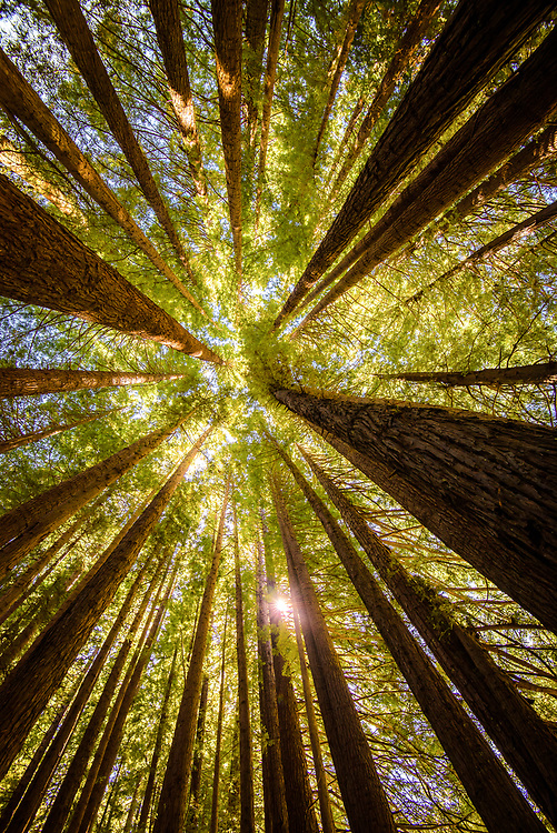 Redwoods grow at Great Otway National Park, Victoria