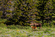 Moose, Glacier National Park
