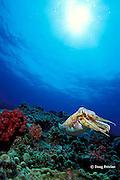 broadclub cuttlefish or reef cuttlefish, Sepia latimanus,<br /> Richelieu Rock, Surin Islands, Thailand ( Andaman Sea, Indian Ocean )