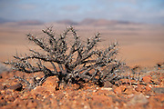 Desert plant survives in the harsh arid Namibian landscape. Skeleton Coast, Namibia