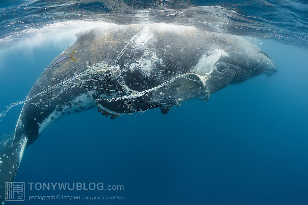 A humpback whale (Megaptera novaeangliae) entangled by longline fishing gear. This whale was still able to swim, but was very weak. The fishing line had immobilized both pectoral fins, slicing through them as is visible here. The whale was infested with whale lice (Cyamus boopis), and there were a number of large sharks trailing it, including tiger sharks and bronze whalers. Another healthy whale was accompanying this whale, though it was clearly unable to assist. This whale most likely died soon after this sighting.