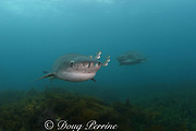 broadnose sevengill shark or cow sharks, Notorhynchus cepedianus (male), with juvenile white trevally, Pseudocaranx dentex, Victoria, Australia