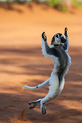 Verreaux's sifaka (Propithecus verreauxi) 'dancing' across the ground.  They only do this when there is a clearing - they prefer to move from tree to tree by leaping.<br /> Berenty Reserve, Southern MADAGASCAR<br /> These are large (length 900-1075mm and weight: 3-4kg), vertically clinging and leaping lemurs. They are diurnal and live in mixed multi mail / multi female groups of up to 14 individuals. Verreaux's sifaka feed primarily on leaves, fruit and flowers. They have one young born between August and September. At first the infant clings to the mother's front then as it gets larger rides on her back.<br /> DISTRIBUTION: Forested regions from Tsiribihina River in the west, south to the Tolagnaro area in the south-east and inland as far as Isalo Massif. They live in Dry deciduous forests in the west and Xerophytic spiny and gallery forests in the south.<br /> THREATENED: The various habitats in which this species are found are all becoming increasingly fragmented due cutting for timber,  firewood and production of charcoal. Although it is 'fady' or taboo to hunt this species amoung some tribal groups others especially around Isalo do hunt it and in this area it is known as 'sifaka for the cooking pot'.<br /> ENDEMIC TO MADAGASCAR