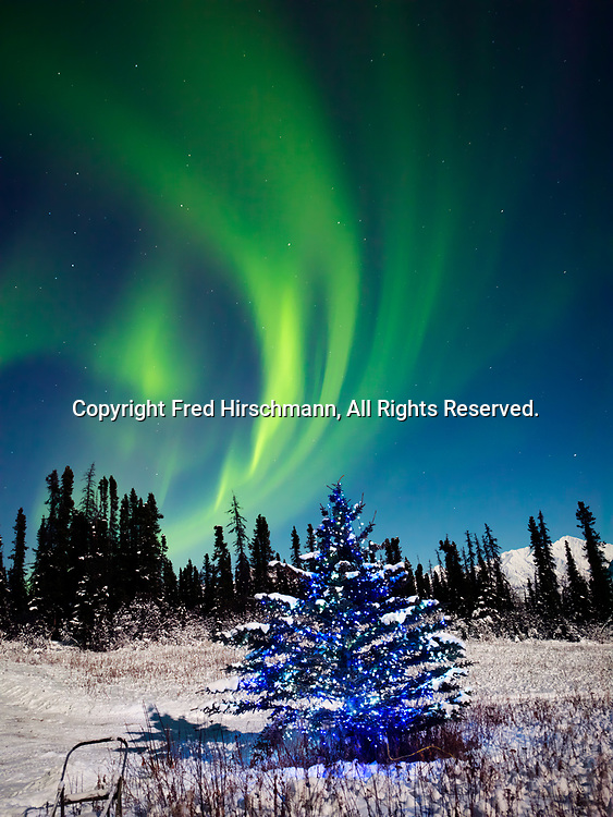 Green Northern Lights with Christmas tree during the full moon on the night of January 4, 2015, Glacier View, Alaska.