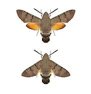 Hummingbird Hawk-moth - Macroglossum stellatarum - 69.010 (1984)