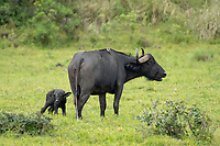 A mother Cape Buffalo, Syncerus caffer caffer, stands with her newborn calf in Arusha National Park, Tanzania. The umbilical cord can still be seen hanging from the mother, and a Red-billed Oxpecker, Buphagus erythrorhynchus, perches on her back.