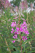 Willow herb plant growing on old quarry land