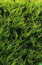 x Cupressus leylandii. Leyland cypress