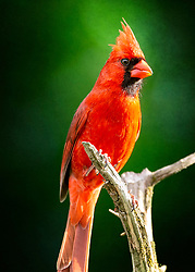 A Male Northern Cardinal Closeup On A Backdrop Of Green
