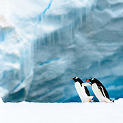 Two Gentoo penguins on a narrow ice shelf on the shoreline of Cuverville Island on the Antarctic Peninsula.