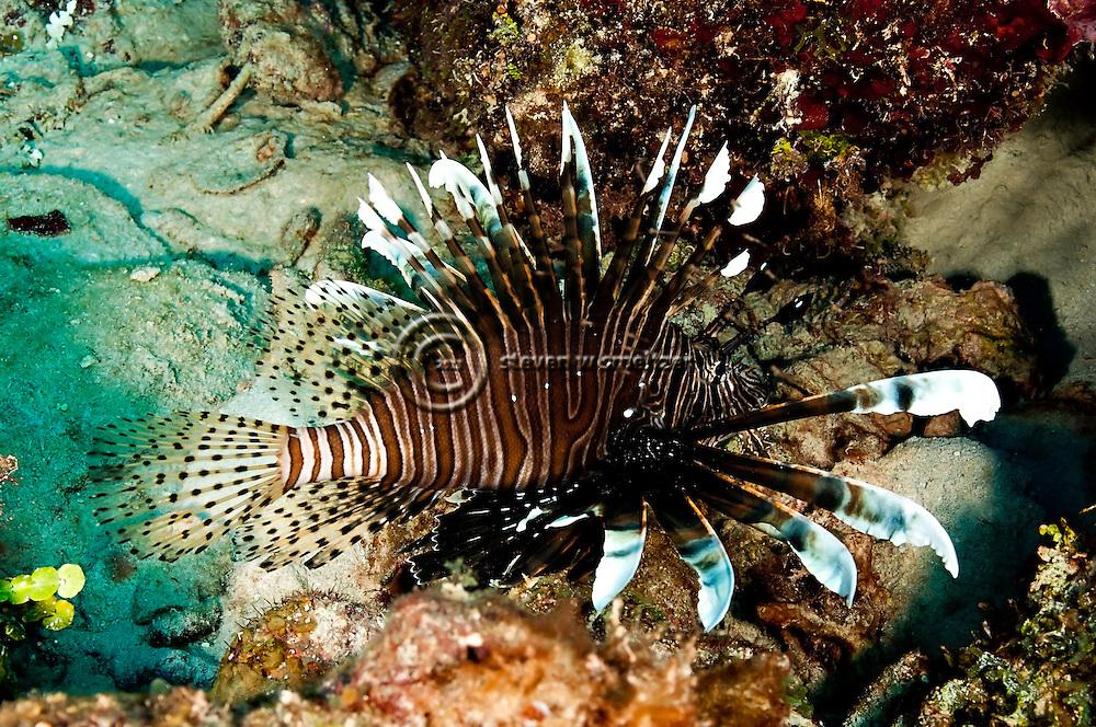 Lionfish Closeup, Pterois volitans, (Linnaeus 1758), Grand Cayman