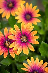 Osteospermum Compact Flower Power 'Purple Sun'