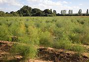 Asparagus crop growing in a field, Hollesley, Suffolk England