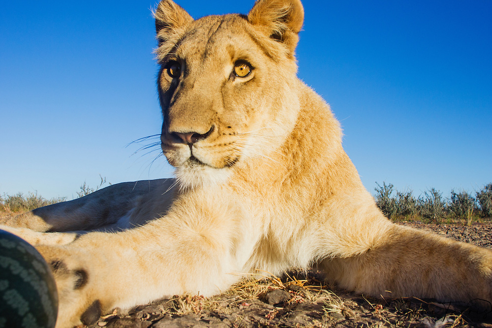 A female lioness laying down in front of remote camera, wide angle, (Panthera leo), Kalahari, Botswana Africa