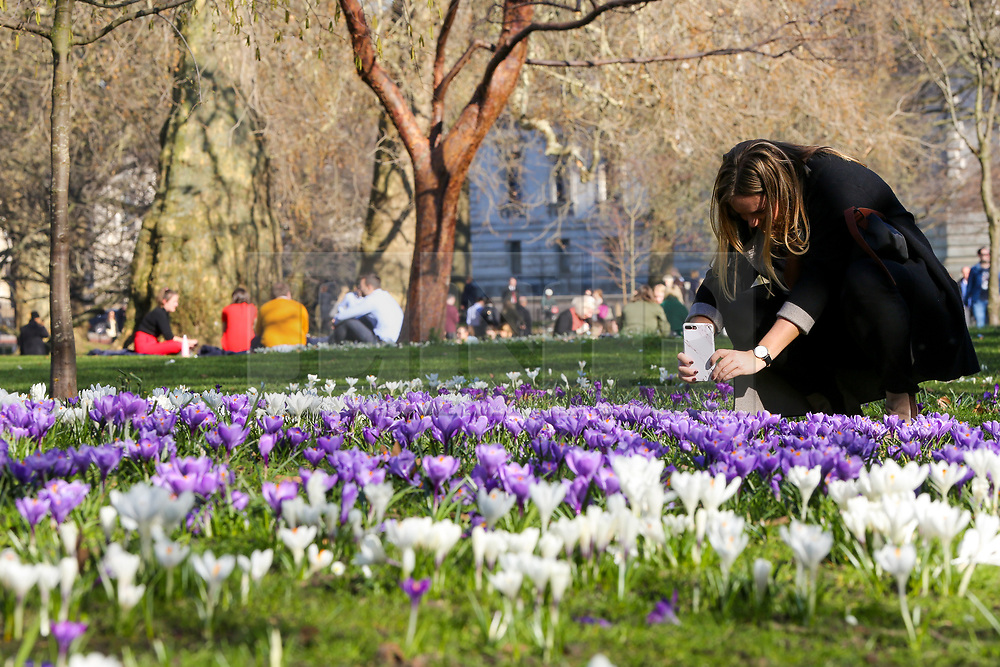© Licensed to London News Pictures. 25/02/2019. London, UK. A woman takes photograph of spring crocus flowers in St James's Park on a warm and sunny day in London. The spell of warm weather set to bring temperatures in the UK close to the record for February. Photo credit: Dinendra Haria/LNP