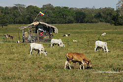 """A small shack waves the Venezuela flag on the El Charcote cattle ranch, where the shacks owner is  squatting with hundreds of other people.  The Venezuela government recently began a three month """"intervention"""", during which they will evaluate the productivity of the land on the British owned cattle ranch.  If the government determines the lands to be under-producing, or that the proper titles are not in order, they may redistribute those lands to the poor farmers who have been squatting on the lands."""