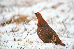 A Red Grouse in the Cairngorms in snowy conditions as Storm Doris hits the UK. 23rd Feb 2017 (c) Brian Anderson   Edinburgh Elite media