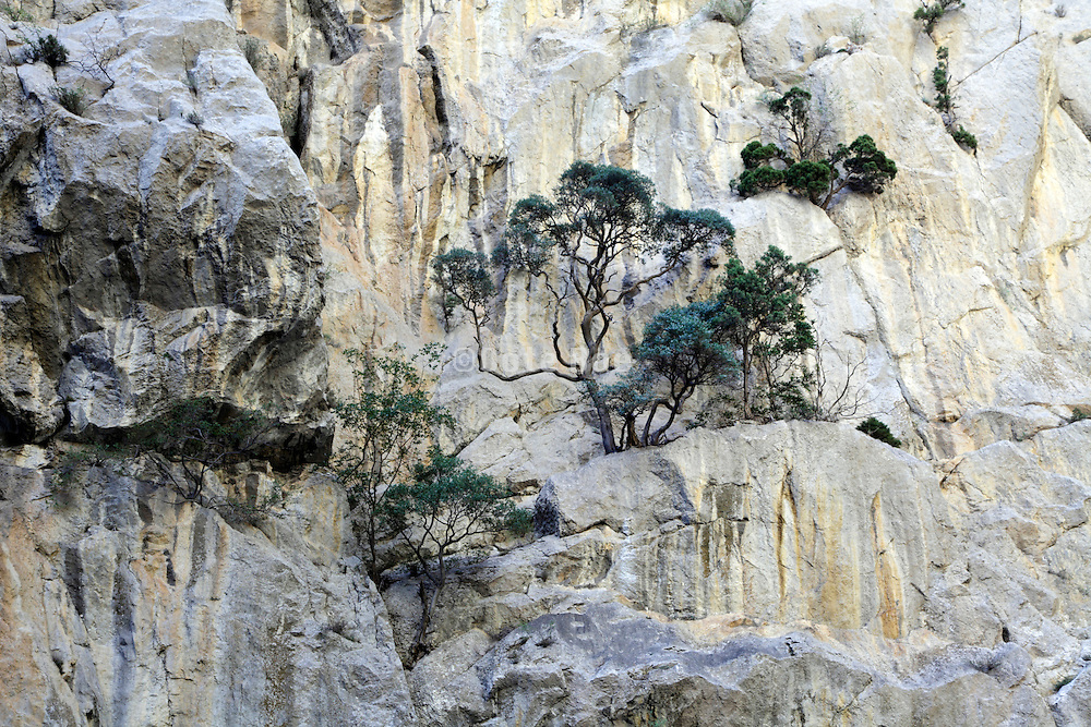 pine trees growing on an rock cliff France D117 between Quillan and Perpignan