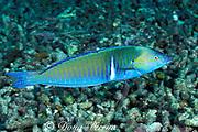 pastel ringwrasse, longface wrasse, <br /> ringed wrasse, or candy cane wrasse, <br /> Hologymnosus doliatus, terminal male, <br /> Sipadan Island, off Borneo, Malaysia,<br /> ( Celebes Sea )