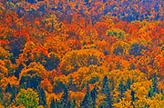 Autumn foliage in mixedwoods of the boreal forest<br />Lake Superior Provincial Park<br />Ontario<br />Canada