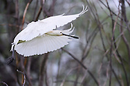 Eurasian Spoonbill , Platalea leucorodia, Danube delta rewilding area, Romania