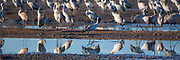 a large flock of Common crane (Grus grus) Photographed in the Hula Valley, Israel, in January