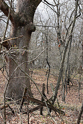 02Apr2010: A broken down gate and barbed wire fence overgrown with foliage stands in front of a mighty oak tree at Comlara Park, McLean County, Illinois