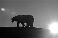 Schweden, SWE, Kolmarden, 2000: Die Silhouette eines Eisbaeren (Ursus maritimus) bei Sonnenuntergang, Kolmardens Djurpark. | Sweden, SWE, Kolmarden, 2000: Polar bear, Ursus maritimus, walking on top of a hill at sunset, silhouette, Kolmardens Djurpark. |