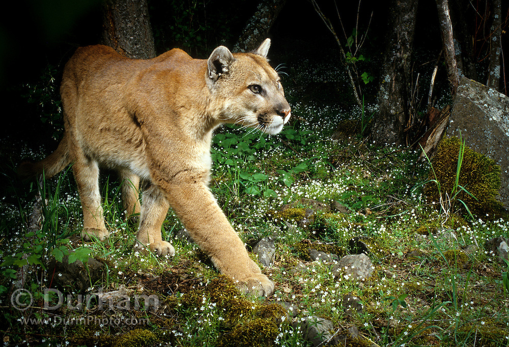 A wild cougar (Felis concolor) photographed with a motion sensing camera at night. In a small canyon draw on Zumwalt Praire, Oregon.