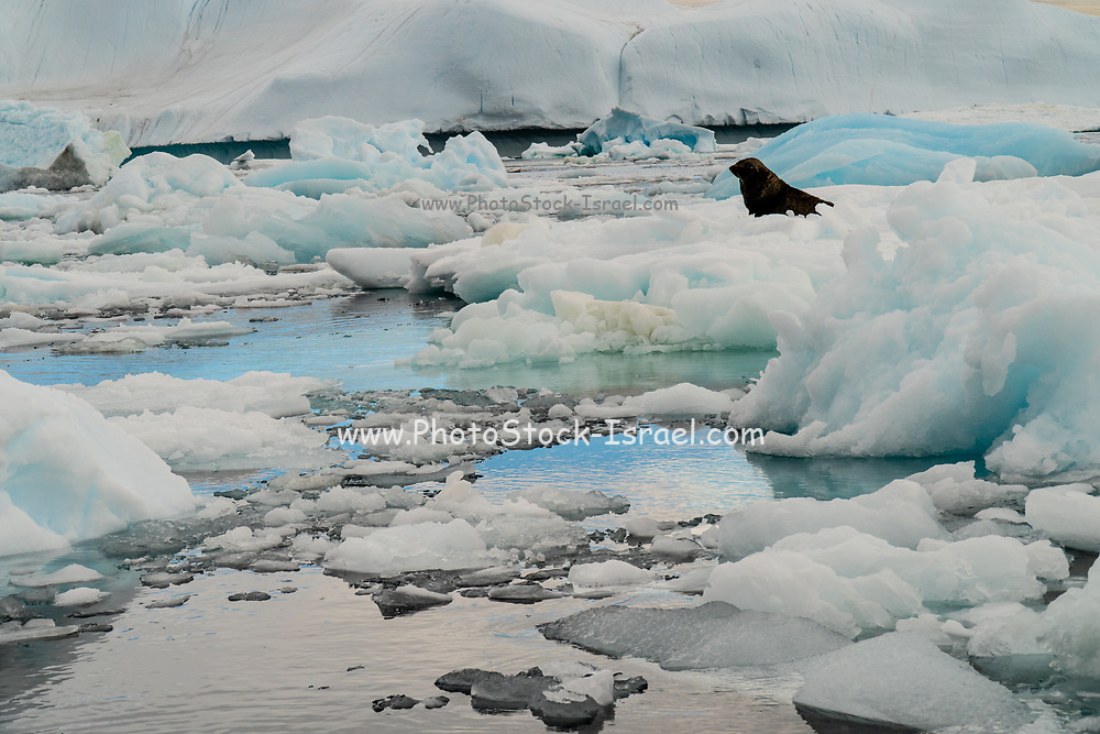 melting Iceberg with ice floe in foreground, floating in the sea, Antarctica