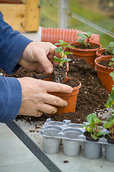 Potting up plug plants into individual plastic pots