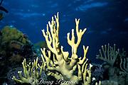 fire coral, Millepora alcicornis, Bahamas ( Western Atlantic Ocean )