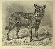 Wolf From the book ' Royal Natural History ' Volume 1 Edited by  Richard Lydekker, Published in London by Frederick Warne & Co in 1893-1894