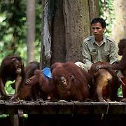 Orangutan, (Pongo pygmaeus) Rangers feeding at Sepilok Forest Reserve Rehabilitation Center. Borneo. Malaysia. Controlled Conditons.