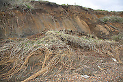 Rapid coastal erosion, East Lane, Bawdsey, Suffolk, England. the soft crag cliff is easily eroded and slumps down to be removed by the sea.