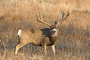 A gigantic non-typical mule deer buck yawns.