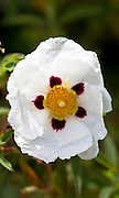 Cistus Purpureus Alan Fradd flowering plant  - orchid rockrose - in garden in The Cotswolds, England, United Kingdom