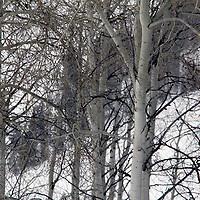 USA, Colorado, Beaver Creek. Scenic trees in winter snow.