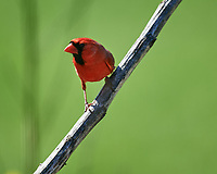 Male Northern Cardinal. Image taken with a Nikon D5 camera and 600 mm f/4 VR lens (ISO 400, 600 mm, f/4, 1/1250 sec).