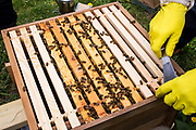 Honey frames lined up inside a bee hive. Urban bee keeping, community garden project, George Downing Estate, Hackney, East London.