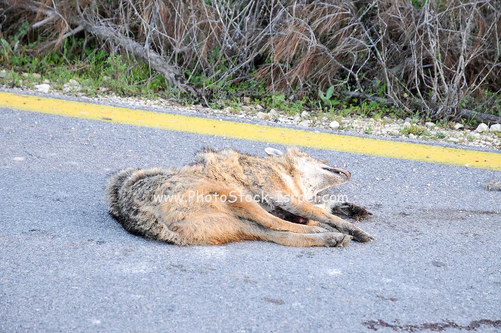 Golden jackal (Canis aureus) road kill. Photographed in Israel, Galilee