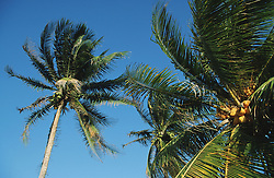View looking upwards at coconut palm trees against blue sky,