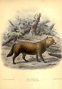 "The bush dog (Speothos venaticus [here as Icticyon venaticus]) is a canine found in Central and South America From the Book Dogs, Jackals, Wolves and Foxes A Monograph of The Canidae [from Latin, canis, ""dog"") is a biological family of dog-like carnivorans. A member of this family is called a canid] By George Mivart, F.R.S. with woodcuts and 45 coloured plates drawn from nature by J. G. Keulemans and Hand-Coloured. Published by R. H. Porter, London, 1890"