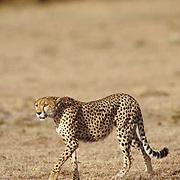 Cheetah, (Acinonyx jubatus) Adult hunting plains in afternoon. Masai Mara Reserve. Kenya.