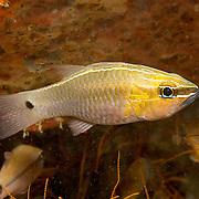 Silverlined Cardinalfish inhabit coastal reefs. Picture taken Puerto Galera, Philippines.