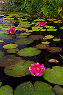 Water Lily in fountain at Mission San Juan Capistrano, San Juan Capistrano, California