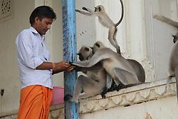 July 30, 2017 - Pushkar, India - A man feeding monkeys in Pushkar. (Credit Image: © Sourabh Vyas/Pacific Press via ZUMA Wire)