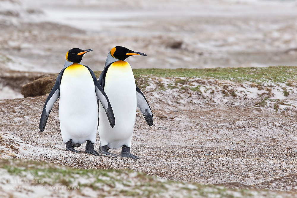 King penguins scan the beach front for predators before making their way to the ocean's edge in the Falkland Islands