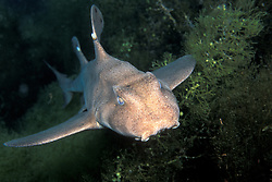 Seemingly unconcerned about its close proximity to the photographer, a young Horn shark, Heterodontus francisci, approaches the camera. Guadalupe Island, Mexico, Pacific Ocean