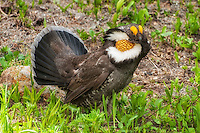 The male sooty grouse (formerly known as the blue grouse) displays for the female he is courting.